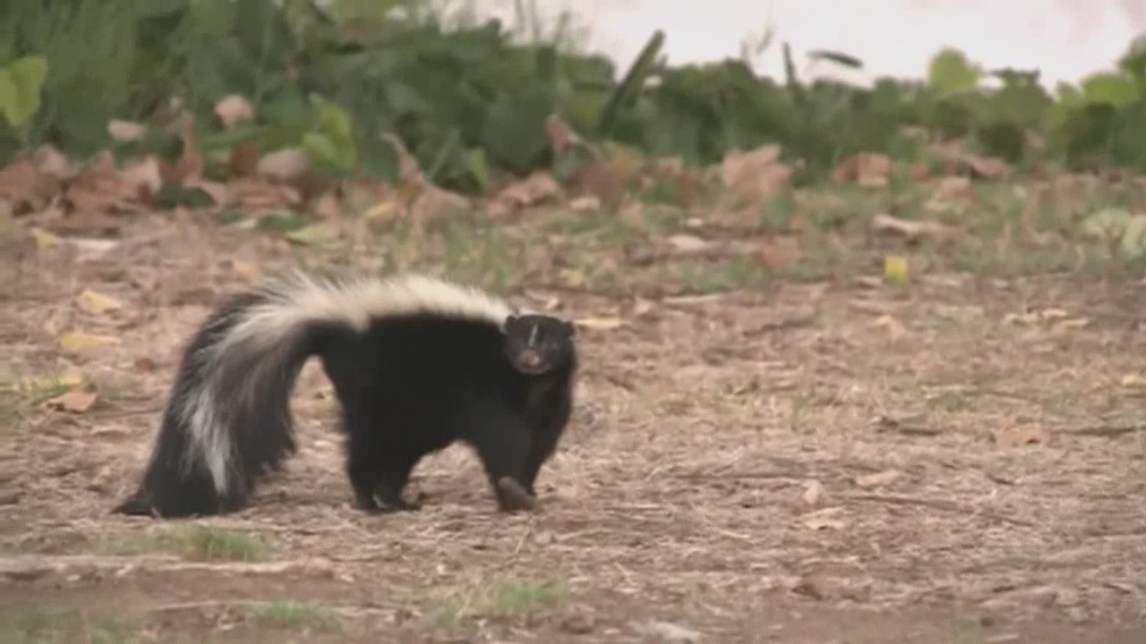 Skunk mating season stinks up Albuquerque