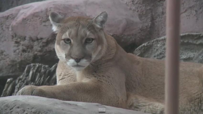Cougar - Mountain Lion_148328