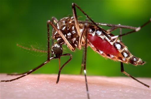 Aedes aegypti mosquito_298479