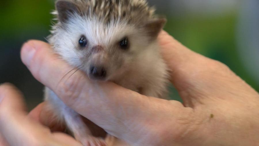 stolen hedgehog_332235