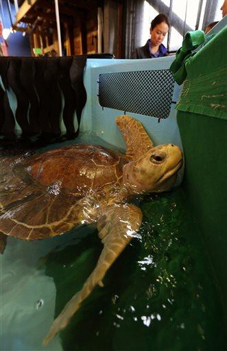 AP- Flying Sea Turtles_355262