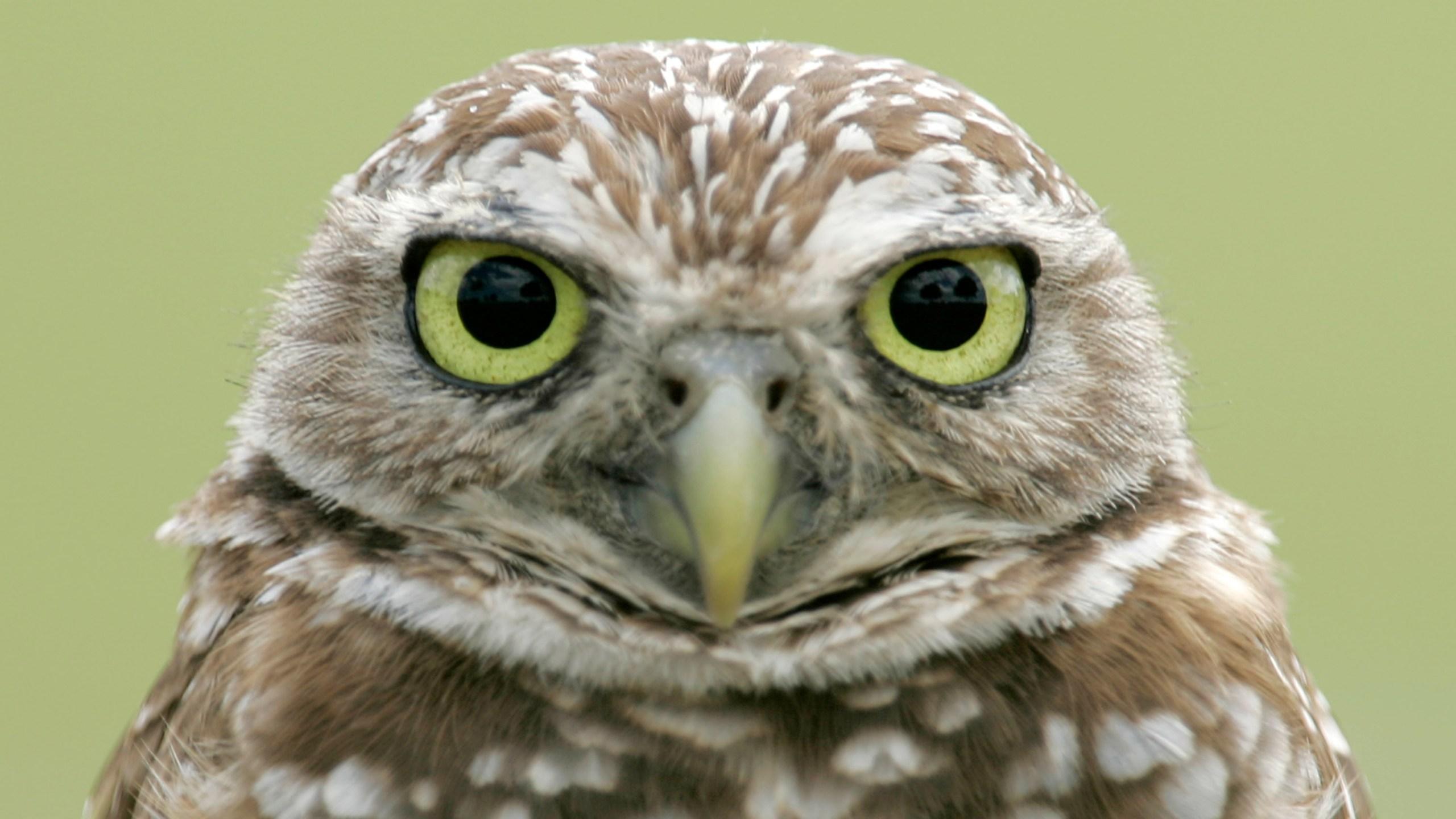 Burrowing Owls_399916