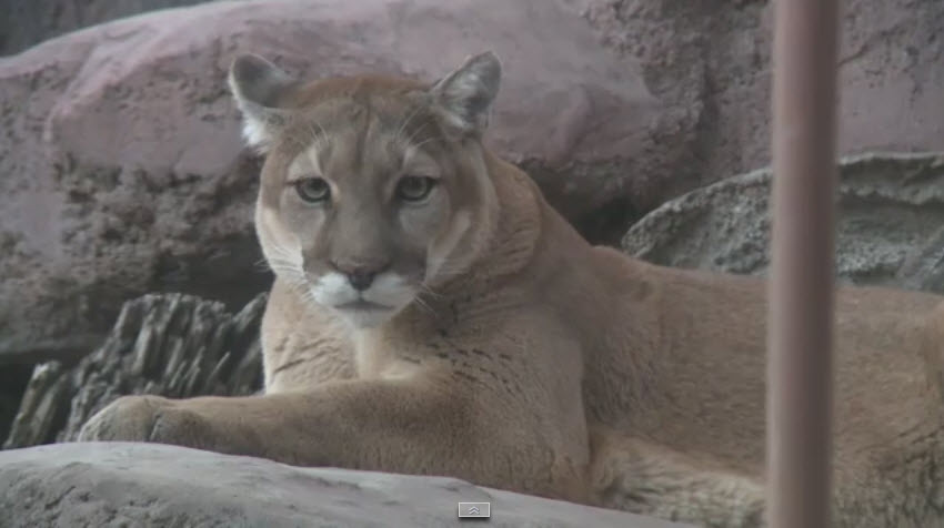Cougar - Mountain Lion_148328