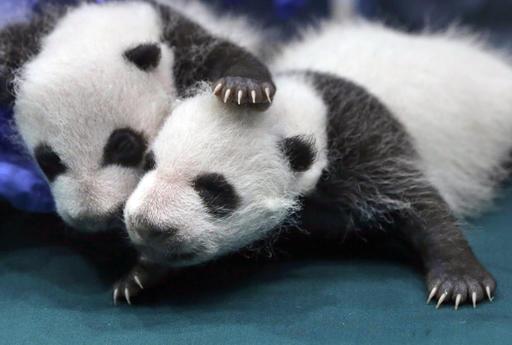 China Giant Panda_432886