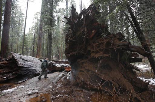 APTOPIX Drive Thru Sequoia_505127