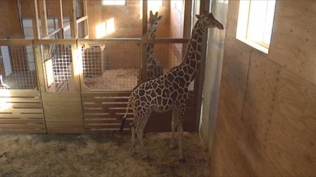 April the Giraffe_537799