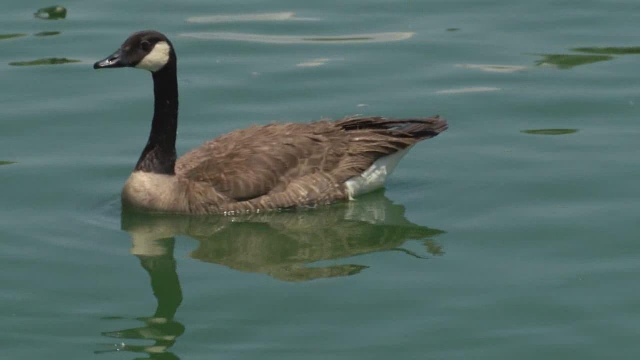 Tingley Beach goose_609040