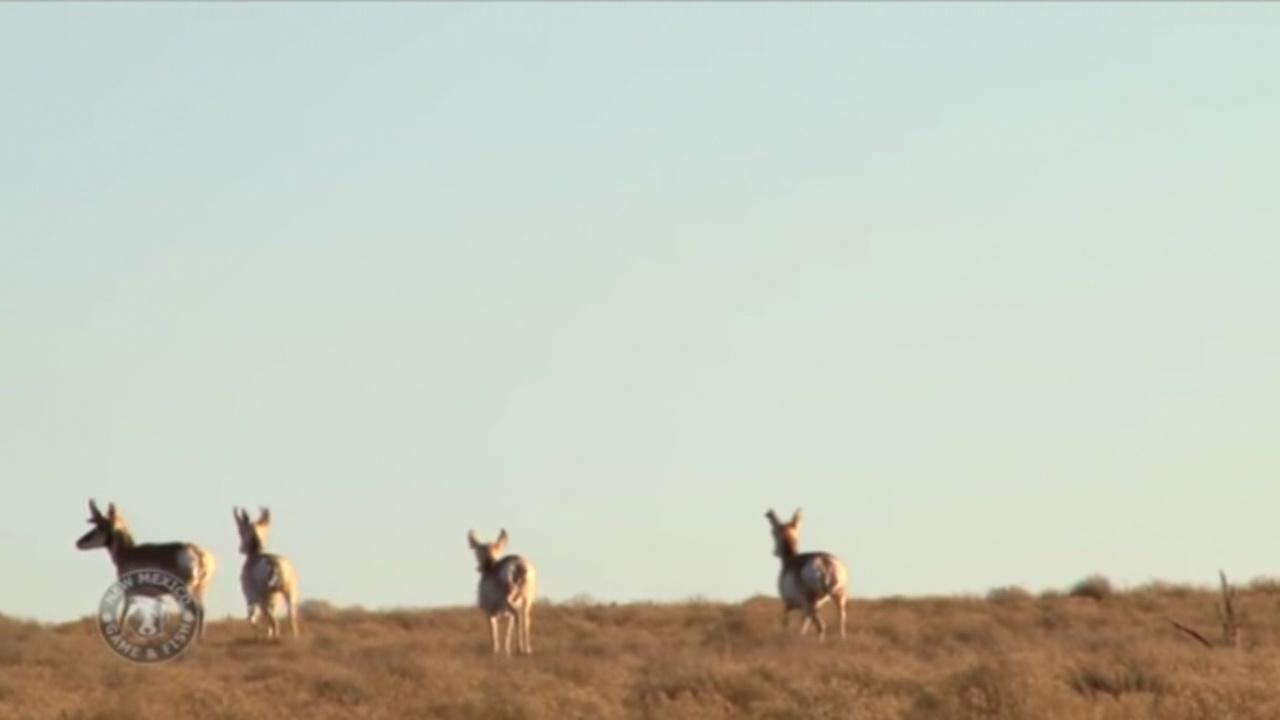 Antelope_658868