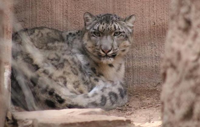 Sarani snow leopard_782050