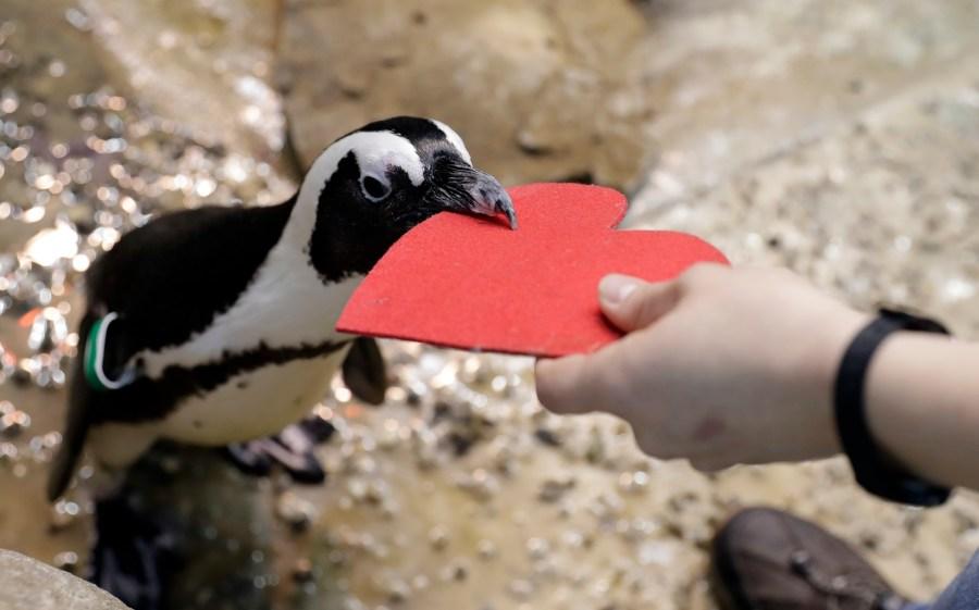 San Francisco Penguins Valentine_793503