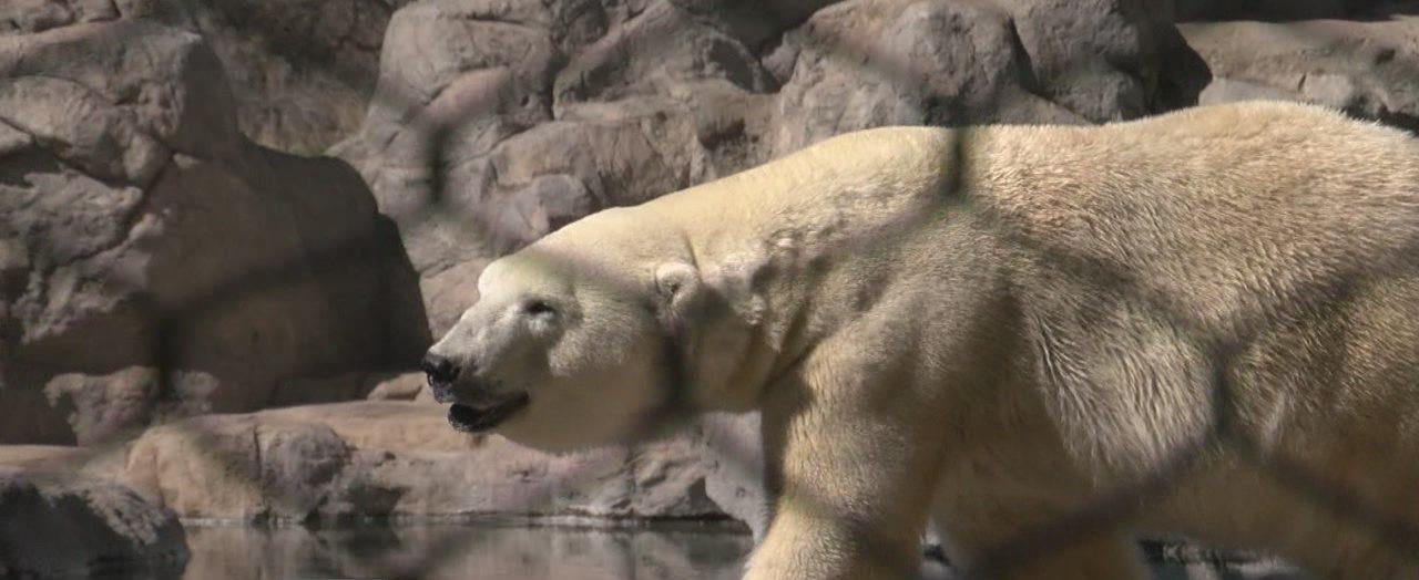 polar bears_804165