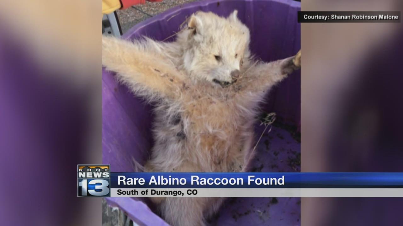 rare albino raccoon_792098