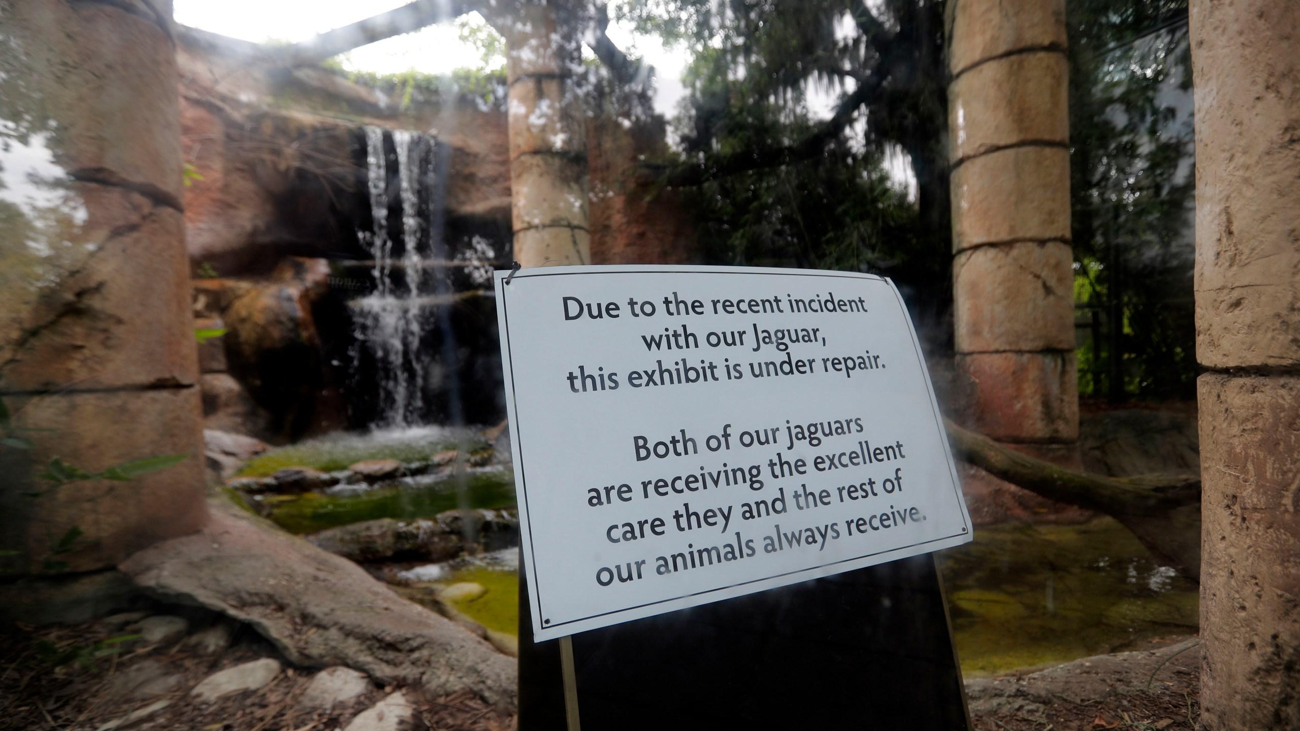 CORRECTION Jaguar Escapes Zoo_1531836343565