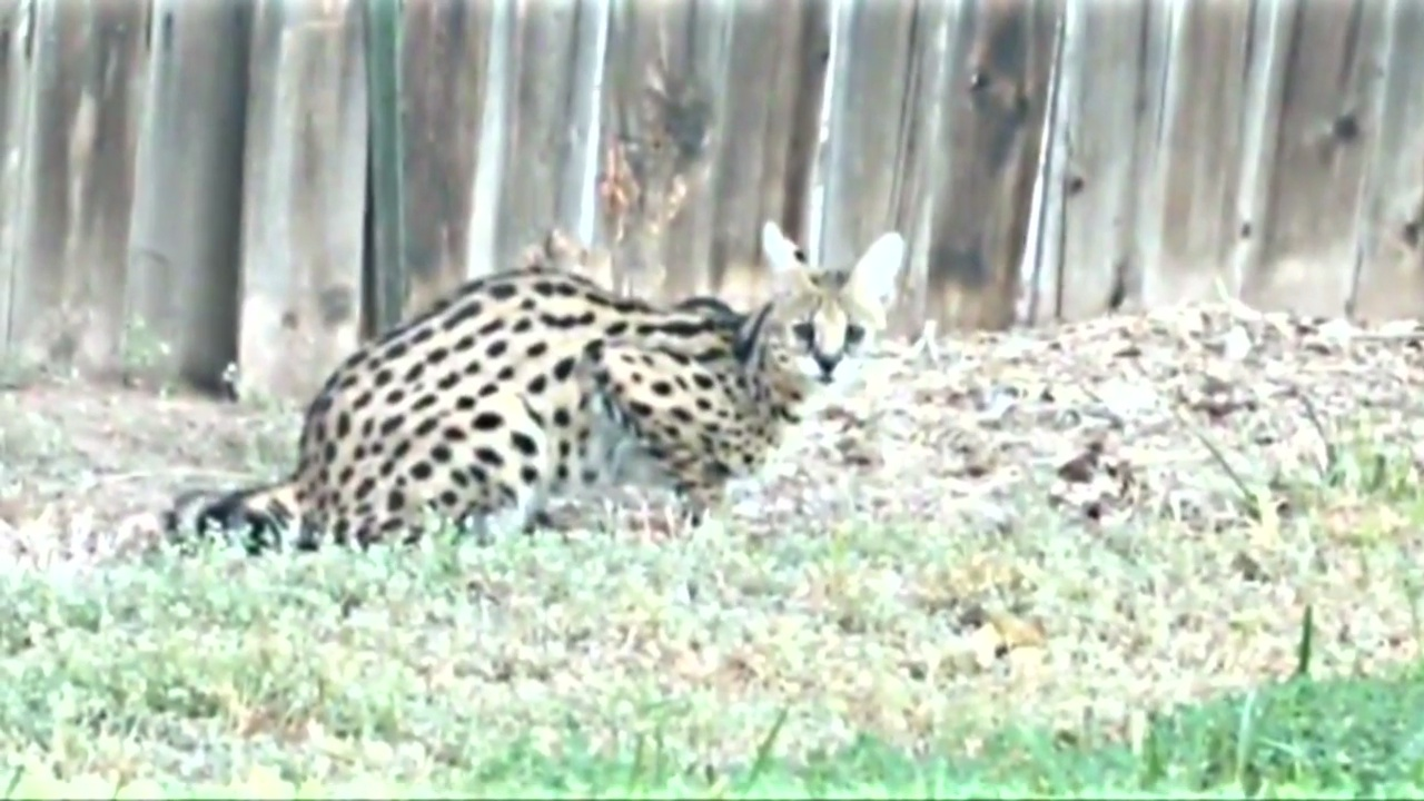 Wild exotic cat found lurking in couple's backyard