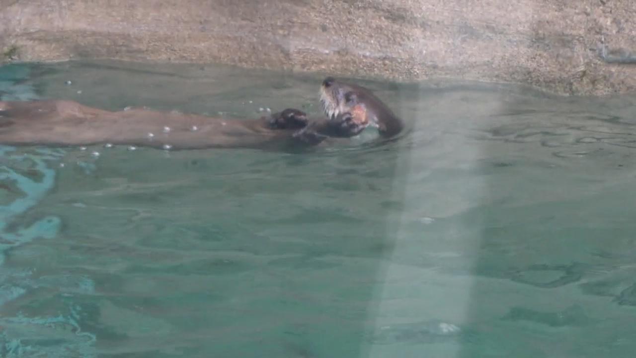 river otters_1530851518238.jpg.jpg