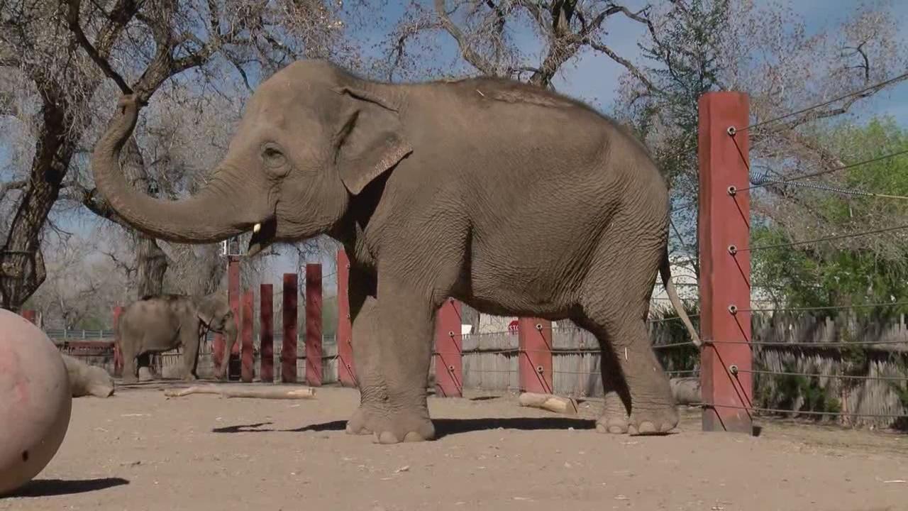 irene abq biopark elephant_557022