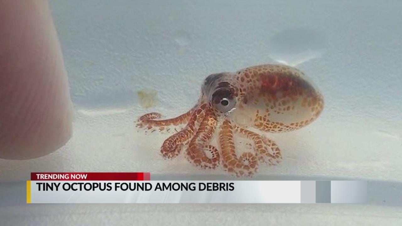 tiny octopus_1540478292543.jpg.jpg