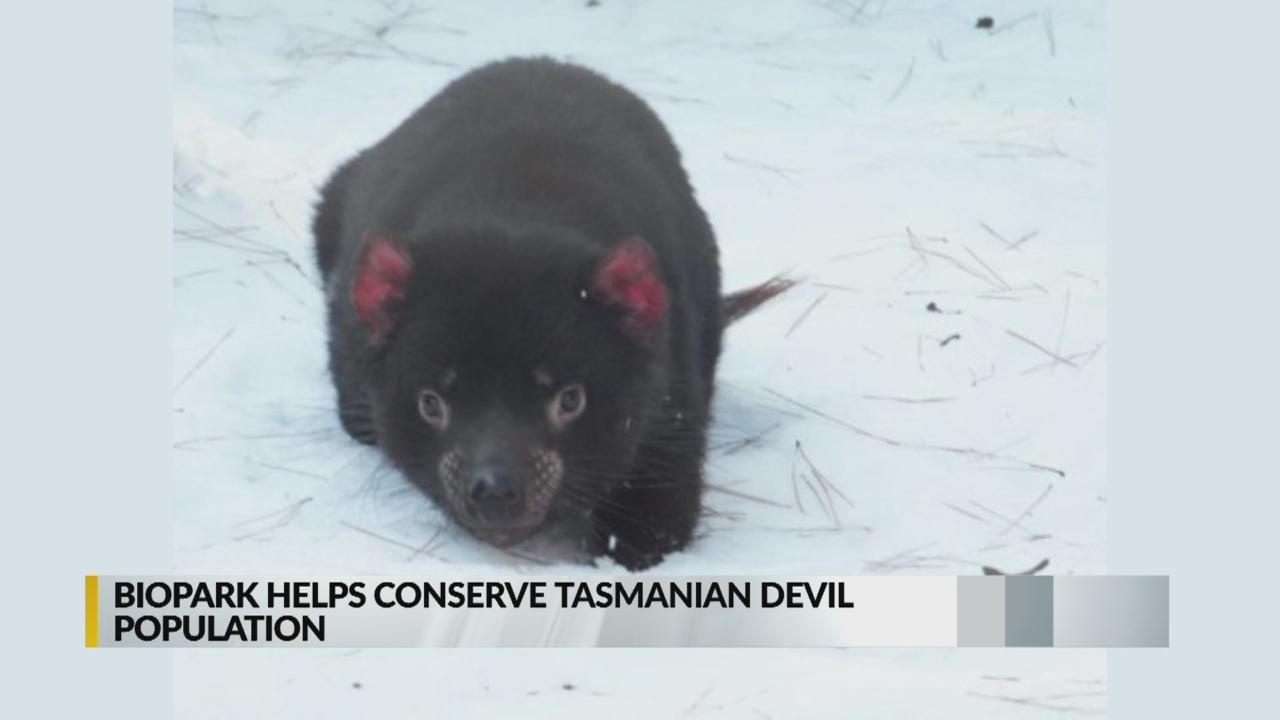 Albuquerque BioPark to welcome two Tasmanian Devils_1541654863130.jpg.jpg