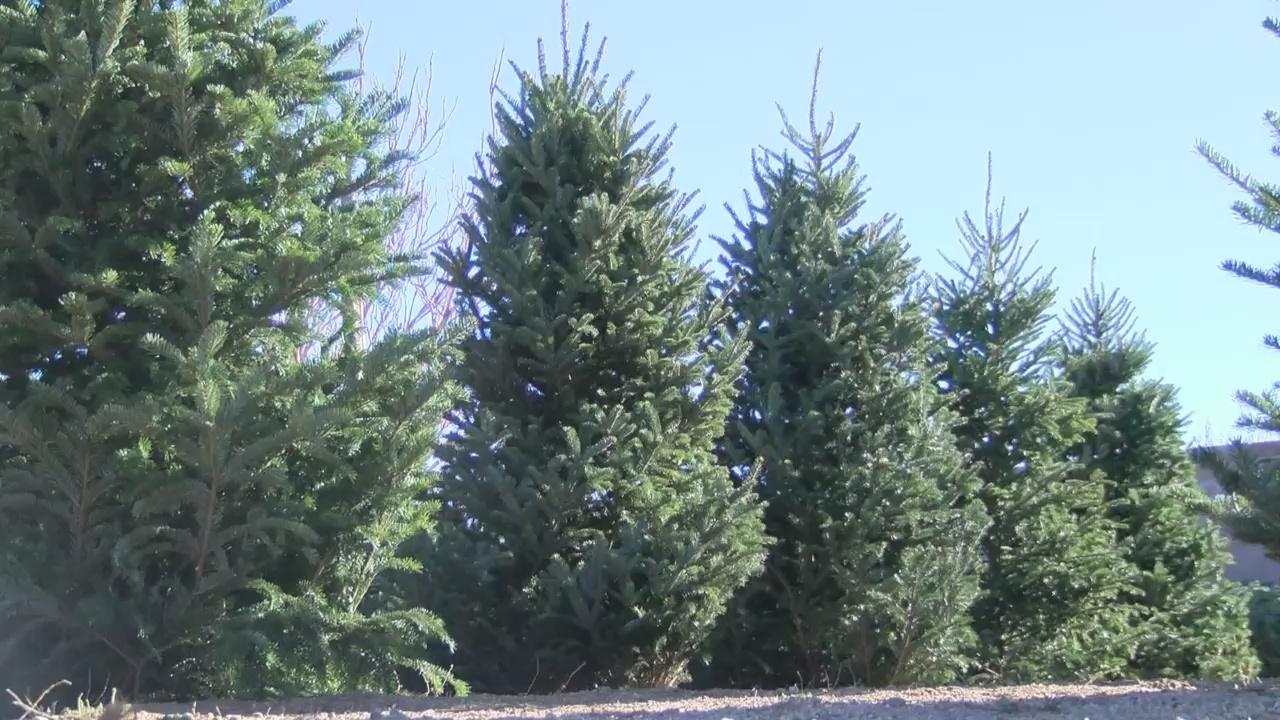 Albuquerque Trash Pickup Christmas 2021 Christmas Tree Recycling Available In Albuquerque Rio Rancho Krqe News 13
