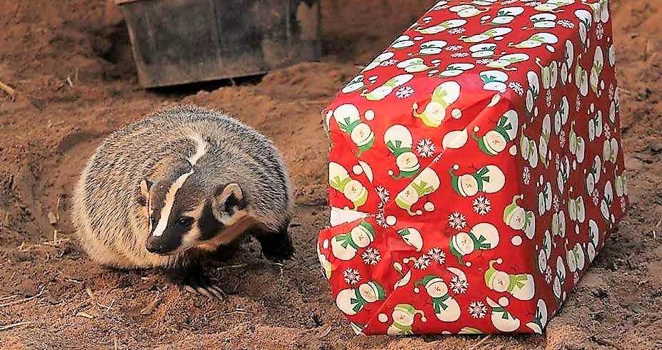 badger gift 25 days of christmas_1542821486322.jpg.jpg