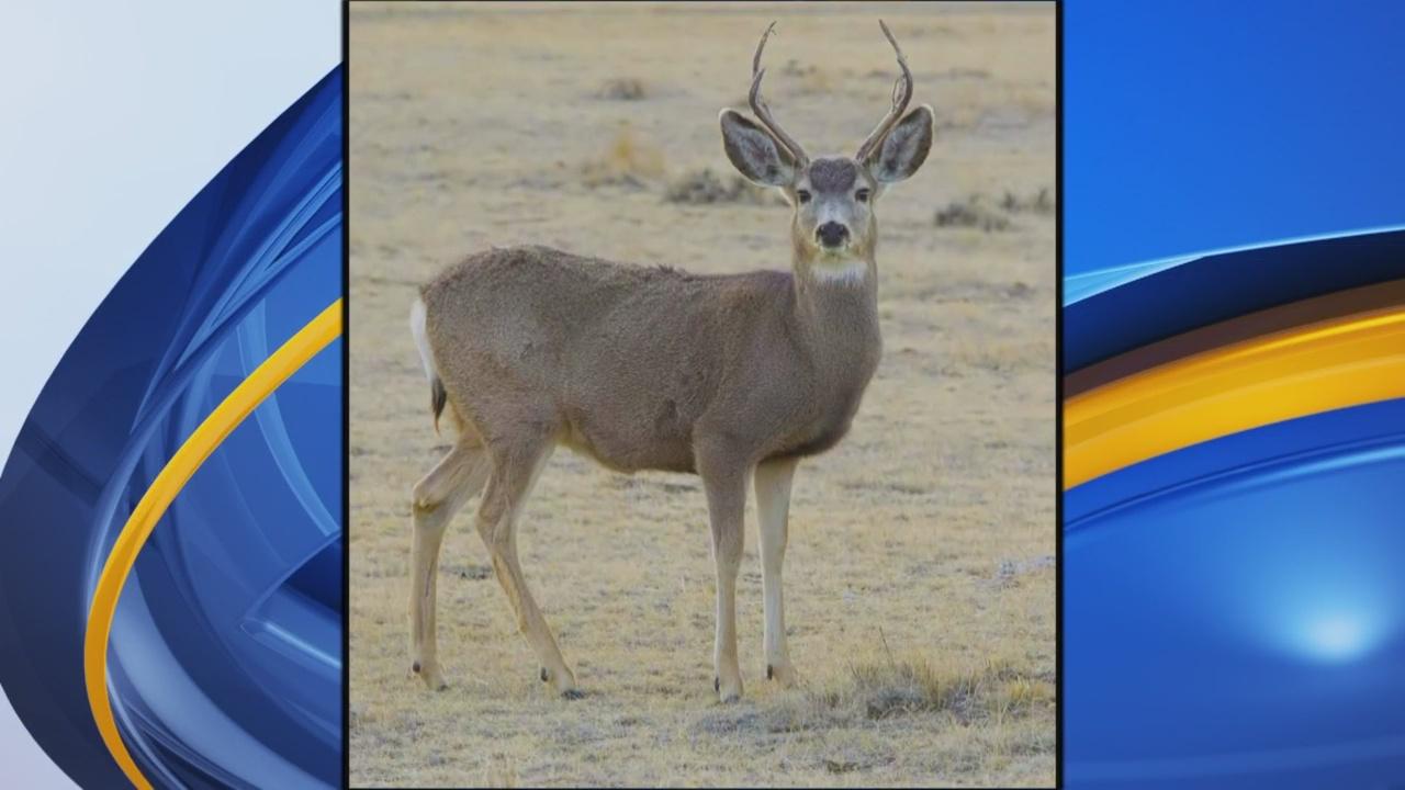 mule deer generic stock new mexico game and fish_1545261155396.jpg.jpg