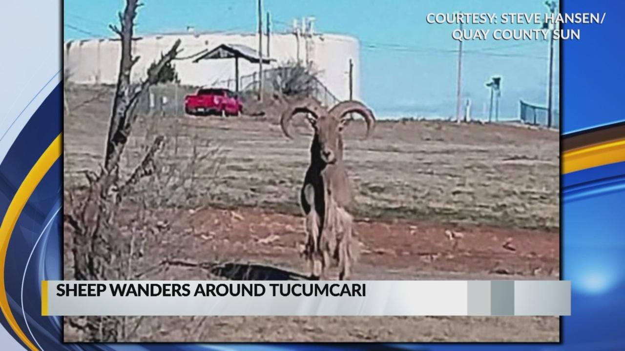 Sheep spotted wandering around Tucumcari_1548289175096.jpg.jpg