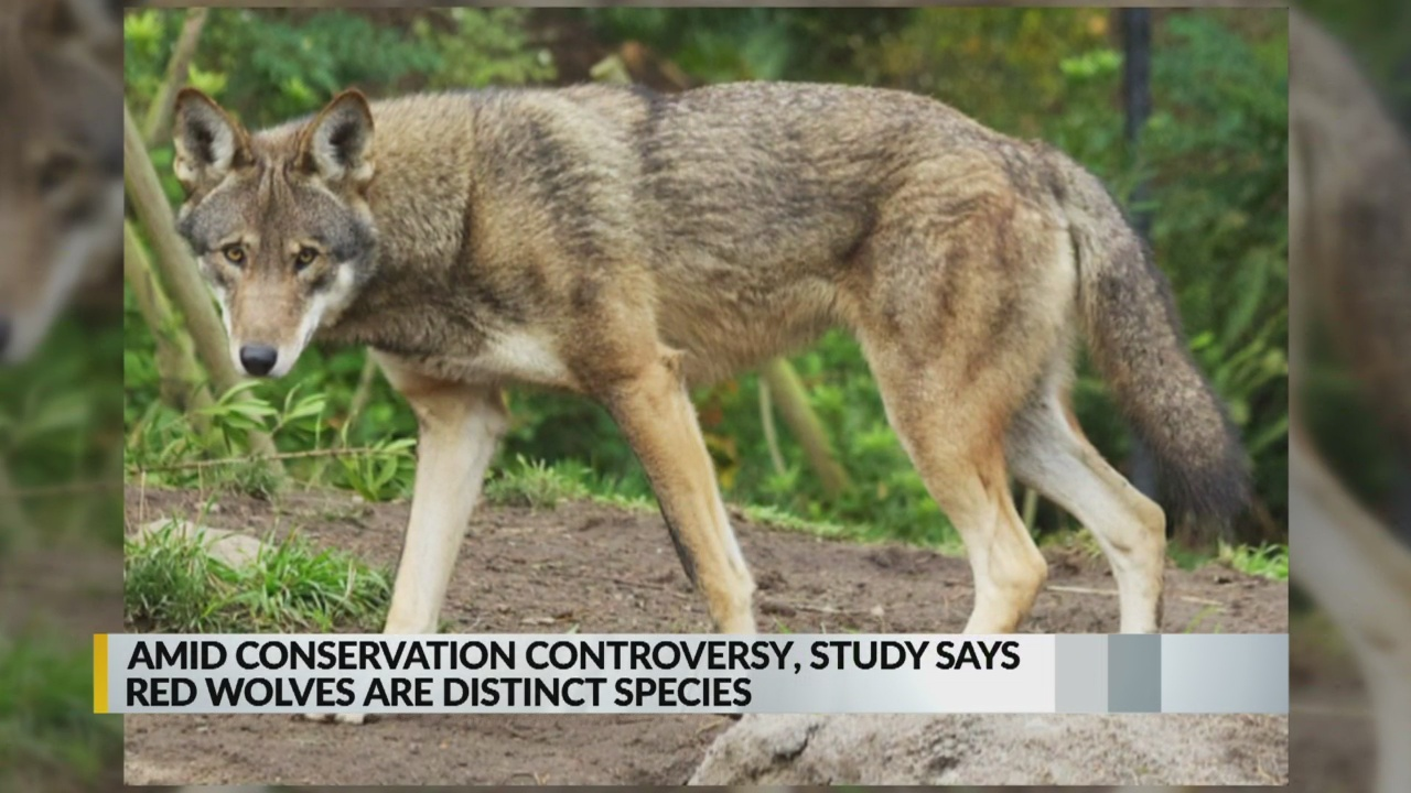 Government-funded study says red wolves are distinct species_1553813886050.jpg.jpg