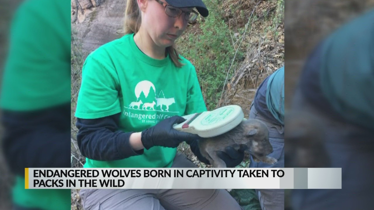 Endangered wolf pups born in captivity join dens in the wild_1556232185500.jpg.jpg