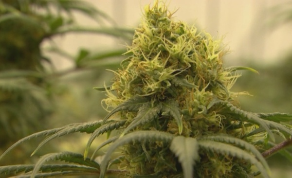 marijuana stock_1520126363320.jpg.jpg