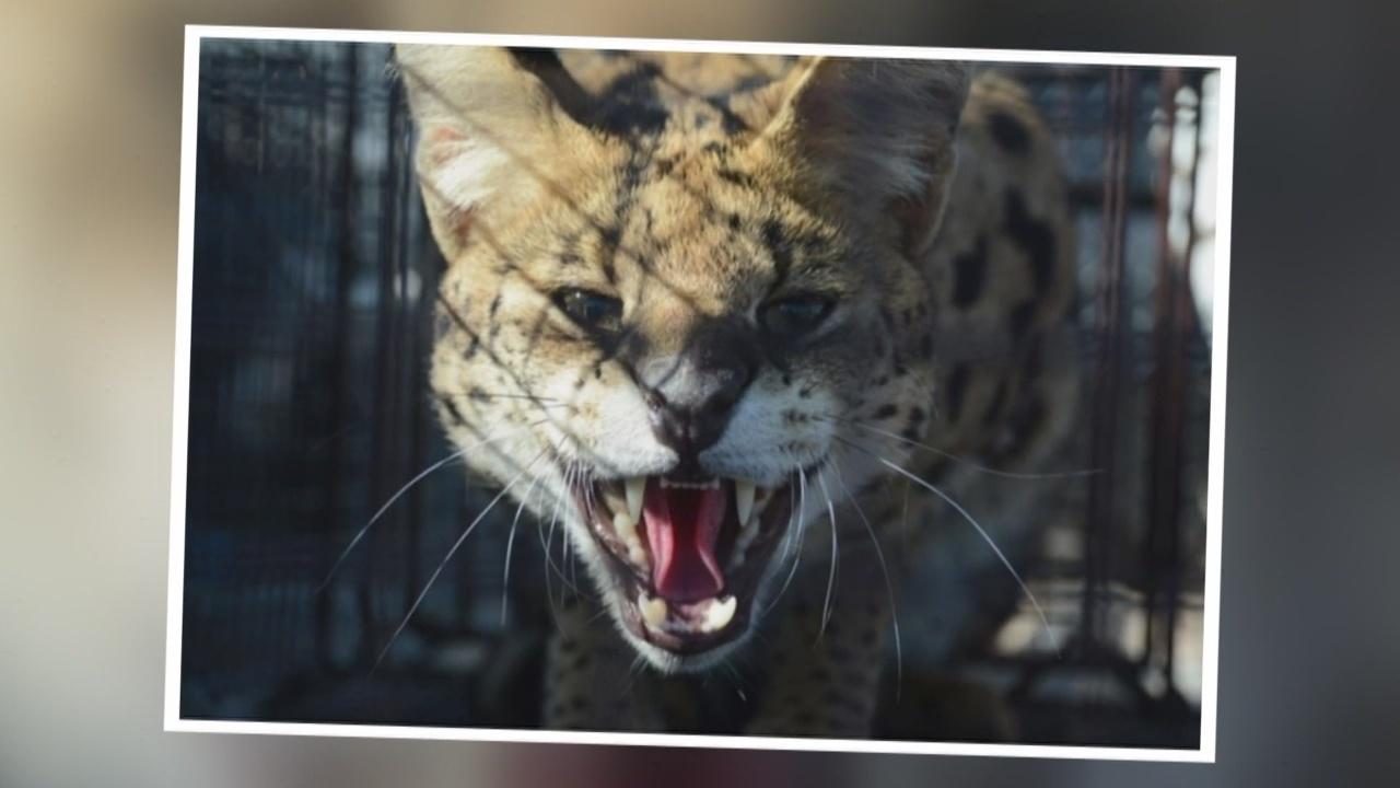 Serval captured near Santa Fe transported to BioPark zoo