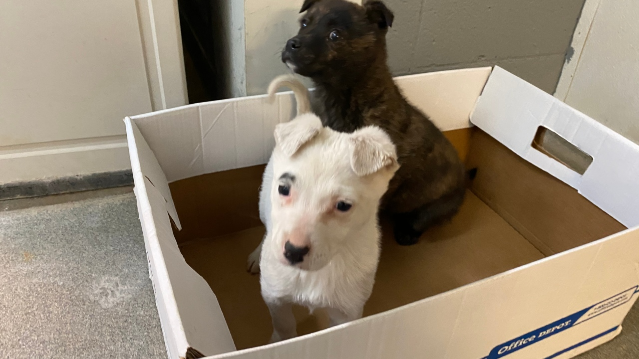 Puppies available for adoption at Valencia County Animal Shelter
