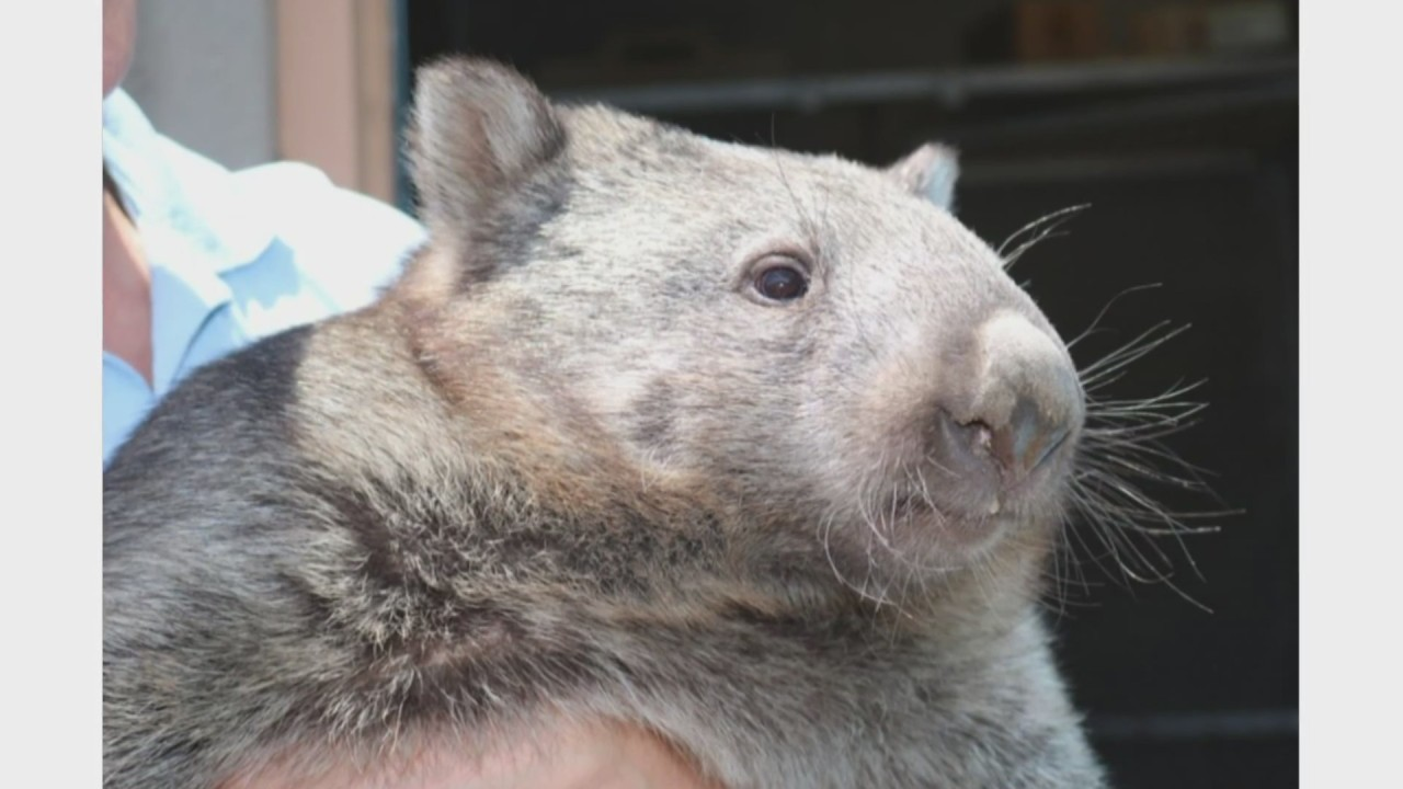 BioPark euthanizes Womona the wombat following health issues
