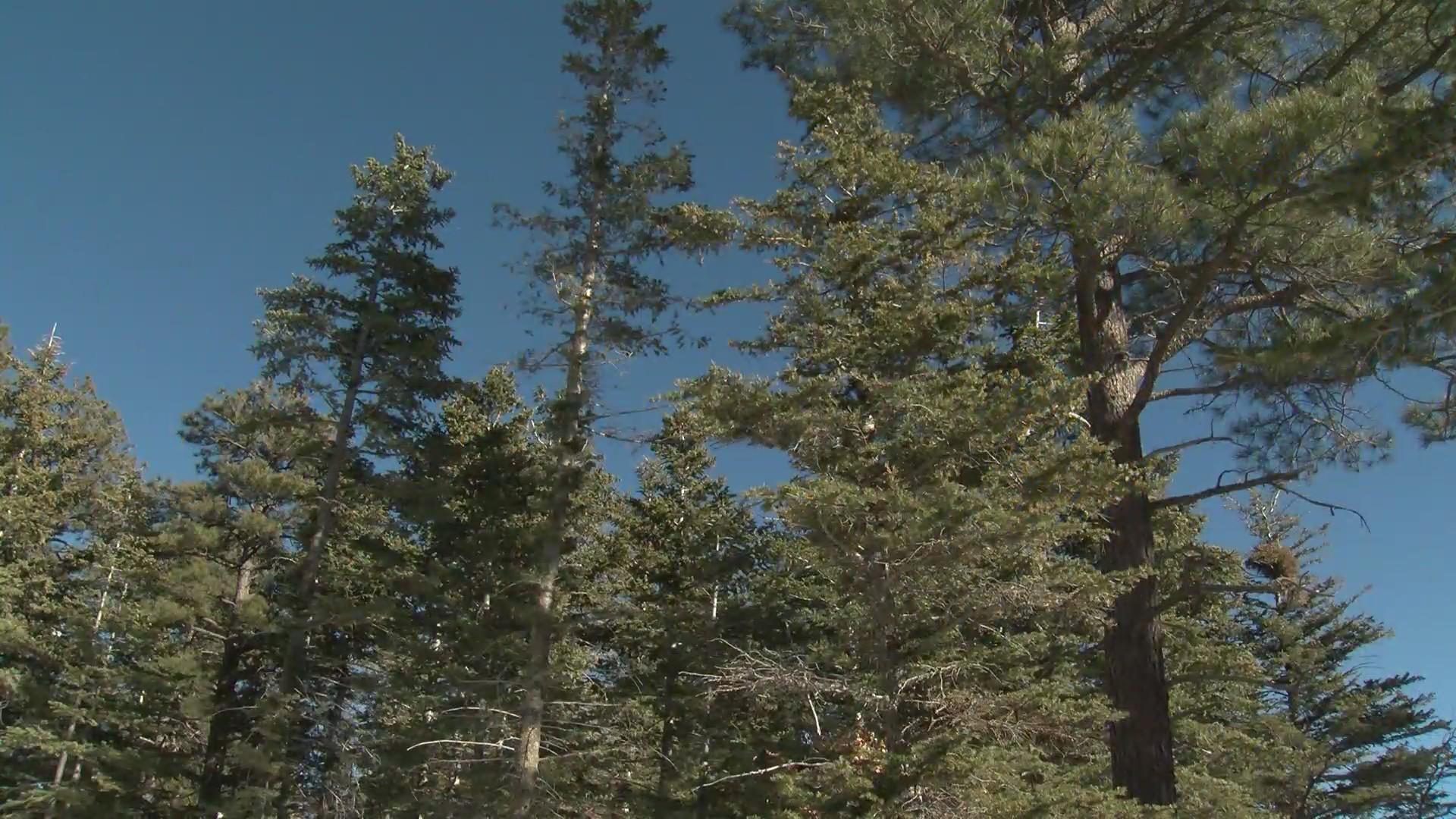 Christmas Tree Permits 2020 Washington State Gila National Forest to offer Christmas tree permits online | KRQE